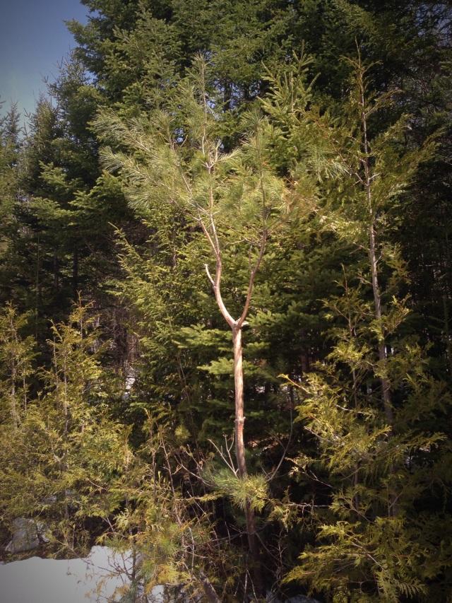 ugly pine